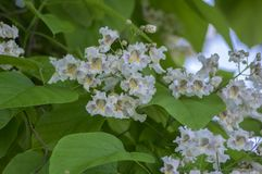 Catalpa bignonioides medium sized deciduous ornamental flowering tree, branches with groups of white flowers and green leaves. During late spring Stock Photo
