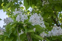 Catalpa bignonioides medium sized deciduous ornamental flowering tree, branches with groups of white flowers and green leaves. During late spring Stock Images