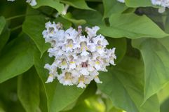 Catalpa bignonioides medium sized deciduous ornamental flowering tree, branches with groups of white flowers and green leaves. During late spring Stock Photography