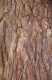 Catalpa bignonioides tree Royalty Free Stock Photo