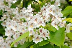 Catalpa Bignonioides. Tree with large white flowers Catalpa Bignonioides Royalty Free Stock Photo