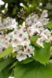 Catalpa Bignonioides. Tree with large white flowers Catalpa Bignonioides Royalty Free Stock Images