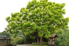 Catalpa Bignonioides. Tree with large white flowers Catalpa Bignonioides Royalty Free Stock Photos