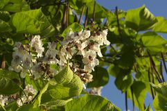 Catalpa is a bionniform `Nana` Royalty Free Stock Image