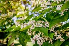 catalpa blühende catalpas Frühlingsbaumblumen Lizenzfreies Stockfoto