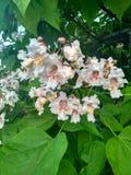Catalpa dell'albero del fiore Immagini Stock