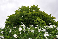 Catalpa and edge. With flowers Stock Photo