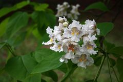 Catalpa flowers. The catalpa bignonioides among large green leaves has white flowers with bright stains Stock Photo