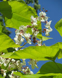 Exotic Catalpa Flowers. The lovely white flowers of Catalpa (Indian Bean Tree) against a background of blue sky Stock Photo