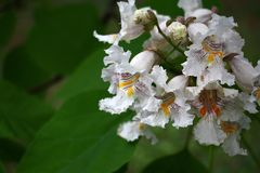 Catalpa inflorescence. The catalpa bignonioides among large green leaves has white flowers with bright stains Royalty Free Stock Images