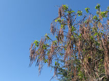 Catalpa macaroni tree Stock Photography