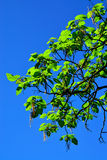 Catalpa ovata against the blue sky Stock Photography
