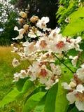 Catalpa träd - Catalpa bignonioides Fotografering för Bildbyråer
