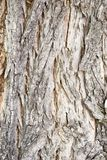 Catalpa tree bark Royalty Free Stock Images