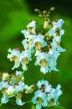 Catalpa Tree Blooms. Catalpa. Macro Royalty Free Stock Image