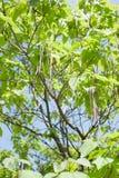 Catalpa tree branch. Branch of Catalpa bignonioides with friuts Royalty Free Stock Photo