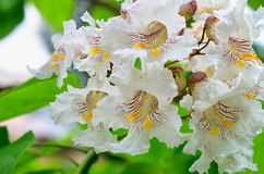 Catalpa tree flowers. On a background of green leaves Stock Images