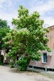 Catalpa tree stock photography