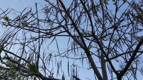 The Catalpa tree in spring. Catalpa tree in early spring stock footage