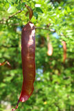 Catalpha beans Royalty Free Stock Photo