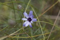 Catananche-bleue Catananche-caerulea Lizenzfreies Stockfoto