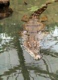 cataphractus Delgado-snouted de Mecistops do crocodilo que nada na água fotografia de stock royalty free
