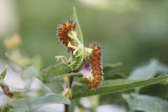 Catapillars de Fritilary consommant le milkweed de papillon Images libres de droits
