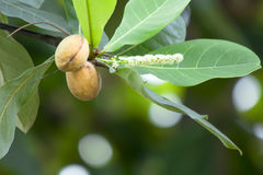 Catappa Terminalia Стоковые Изображения