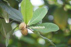 Catappa Terminalia стоковая фотография rf
