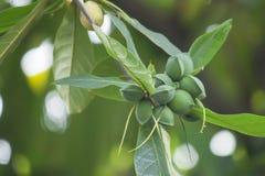 Catappa Terminalia стоковые фото