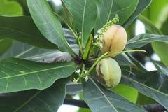 Catappa Terminalia стоковое фото