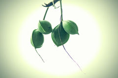 Catappa Terminalia стоковое фото rf