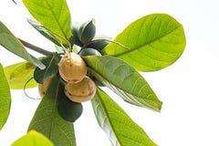 Catappa Terminalia стоковое изображение