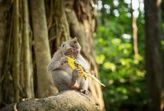 Catarrhini-Alte Welt, die eine Banane beim Sitzen auf einem Felsen in einem Regenwald an einem sonnigen Tag isst Lizenzfreies Stockbild