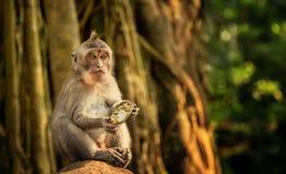 Catarrhini Oude wereld die een mangozitting op een rots in het regenwoud eten royalty-vrije stock fotografie