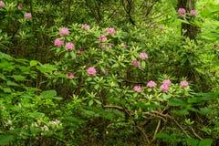 Catawba Rhododendron Shrub stock photo