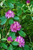 Catawba Rhododendron Flowers- Rhododendron catawbiense stock photography