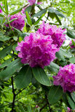 Catawba rhododendron. Photograph May 30 2014 on the blue ridge parkway between mile marker 300 and 305 elevation 4400 feet.  Close-up of a Pink rhododendron Royalty Free Stock Photos
