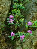 Catawba Rhododendron - Rhododendron catawbiense stock photos