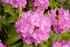 Catawba Rhododendron (Rhododendron catawbiense). A Catawba Rhododendron (Rhododendron catawbiense) plant in full bloom in the springtime in Great Smoky Mountains Royalty Free Stock Photography