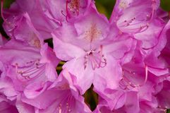 Catawba Rhododendron (Rhododendron catawbiense). A Catawba Rhododendron (Rhododendron catawbiense) plant in full bloom in the springtime in Great Smoky Mountains Stock Photo