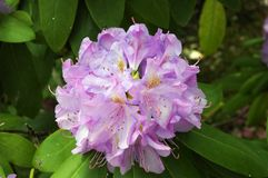 Catawba Rhododendron (Rhododendron catawbiense). A Catawba Rhododendron (Rhododendron catawbiense) plant in full bloom in the springtime in Great Smoky Mountains Stock Images