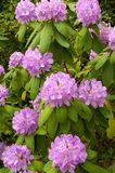 Catawba Rhododendron (Rhododendron catawbiense). A Catawba Rhododendron (Rhododendron catawbiense) plant in full bloom in the springtime in Great Smoky Mountains Stock Photos