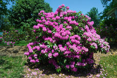 Catawba Rhododendron - Rhododendron catawbiense Royalty Free Stock Photos
