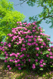 Catawba Rhododendron - Rhododendron catawbiense Stock Image