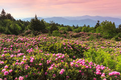Catawba Rhododendron Roan Mountain State Park Tennessee. Wild catawba rhododendron flowers bloom and cover the ground area at the top of Roan Mountain in Carter stock photography