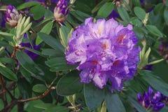 Catawbaoleanderblumen lizenzfreies stockbild