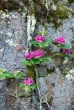 Catawbarhododendronbuske som klamra sig fast intill en avsats royaltyfria foton