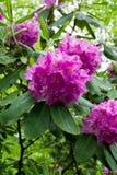 Catawbarododendron Royalty-vrije Stock Foto's