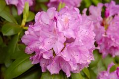 Catawbarododendron (Rododendron catawbiense) stock foto's